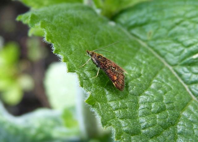 27417 - Mint Moth