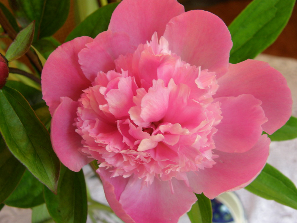 Pink peonies red peony flower white wedding peony wholesale pink peonies dhlflorist Images