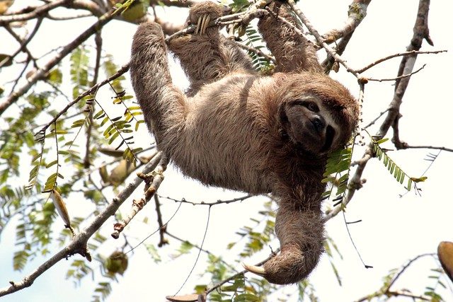 brown-throated sloth (Bradypus variegatus) | Flickr ...