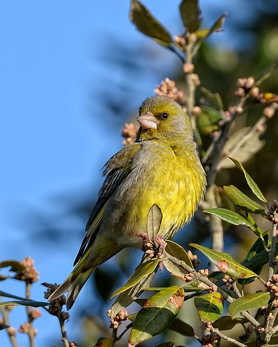 Greenfinch by Rivertay