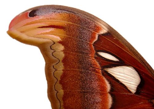 皇蛾之美,台灣看得到!(圖片來源:wikipedia)