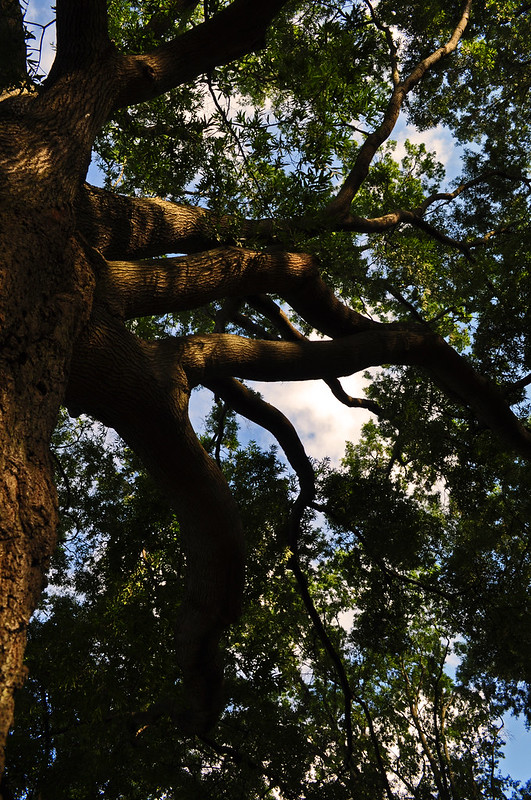 Quercus phellos (11)