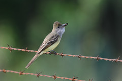 Flycatcher with Moth_4002.jpg by Mully410 * Images