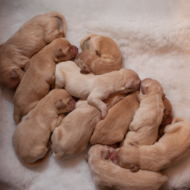 Tiny Cute Puppies Golden Retriever 1 Day Old