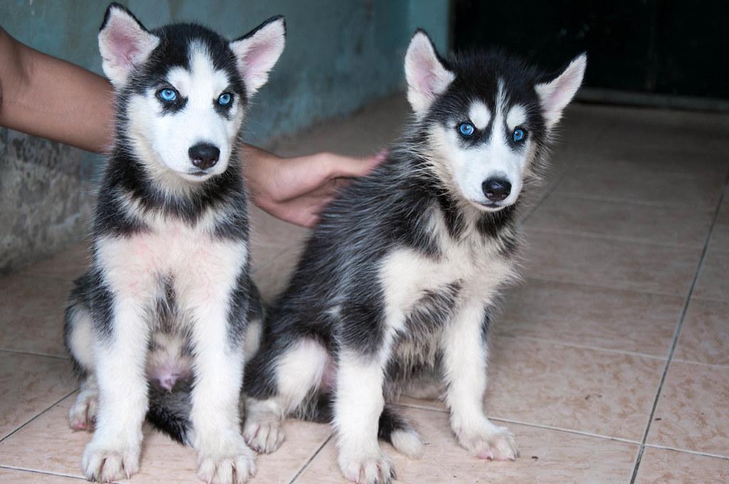 Bán chó Husky mắt xanh 6tr tuyệt đẹp - 2