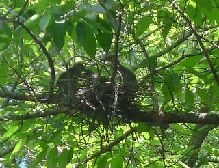 Yellow-crowned night heron nest