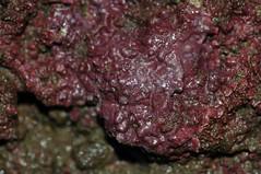 觀音藻礁區成長中的造礁藻類,呈現著鮮紅欲滴的顏色。(攝影:潘忠政)