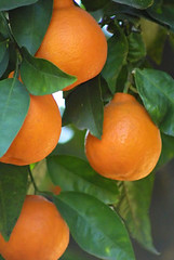 fruit tree, clementine, calamondin, citrus, orange, kumquat, fruit, tangelo, bitter orange, mandarin orange,