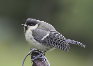 Great Tit, Juvenile
