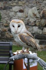 Barn Owl in Conwy
