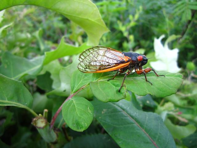 The 17 year Cicada