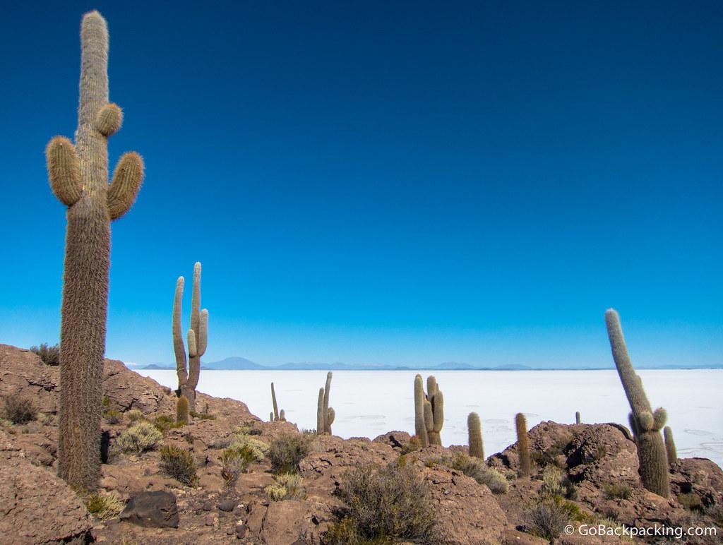 Giant cactus on Isla Incahuasi