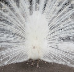 White Peacock with Fanned Tail