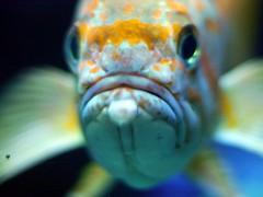 dutch fish