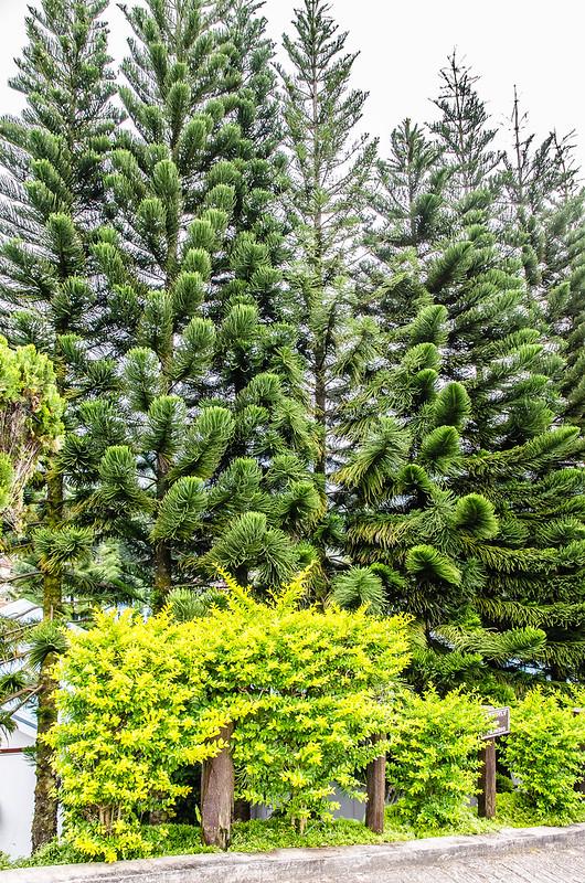 Kinabalu Pine Resort at Kundasang, Sabah is surrounded by those big pine trees
