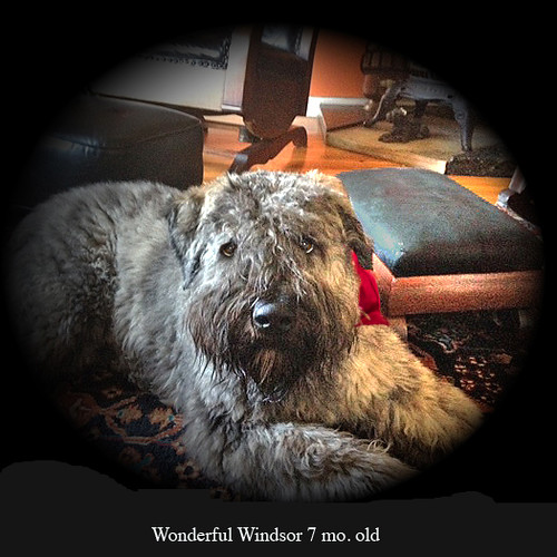 Wonderful Windsor 7 mo.