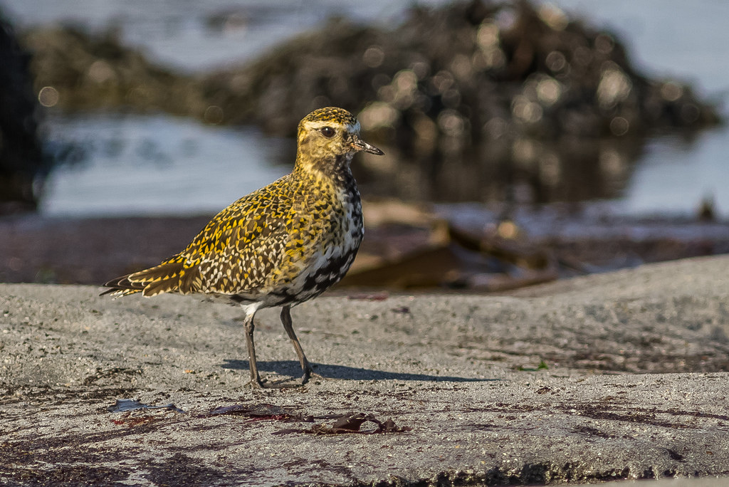 Heiðlóa / European Golden Plover