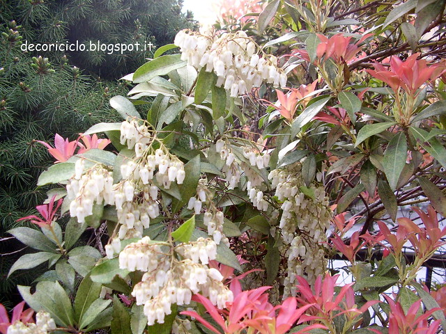 2. fiori del mio giardino -pieris-