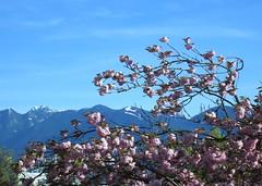 Grouse and sakura