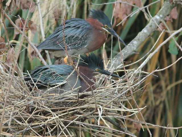 Green Heron pair exchanging incubation duty 20120325