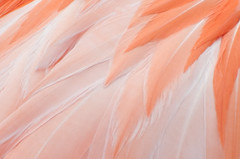 orange(0.0), veil(0.0), dance dress(0.0), wing(0.0), pink(0.0), petal(0.0), flamingo(0.0), bird(0.0), feather(1.0), peach(1.0), close-up(1.0),