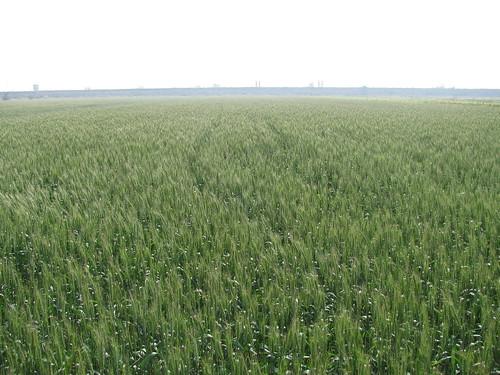 台中區農業改良場臺灣小麥品種選育。(圖片來源:農委會)
