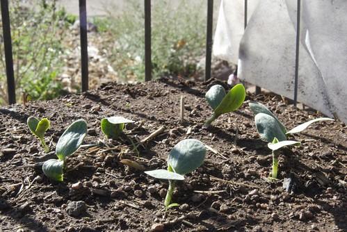 PumpkinSeedlings2