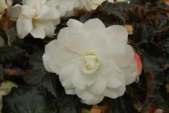 Begonia 'Arcada White'