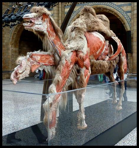 Plastinated Camel