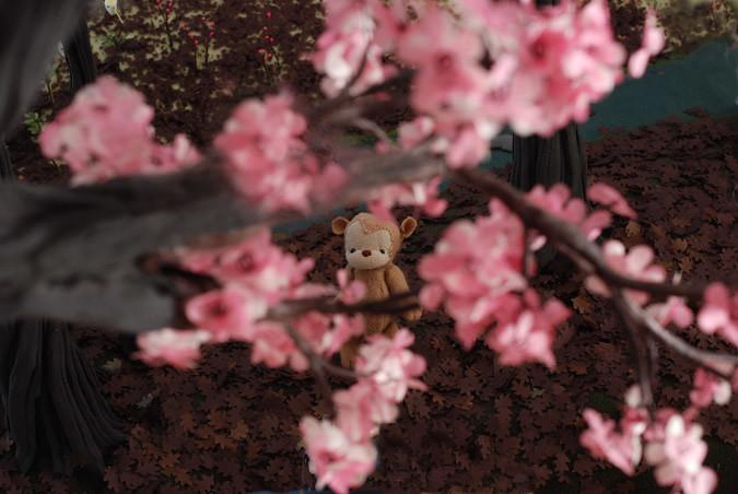 cherry_blossom_DSC_0108