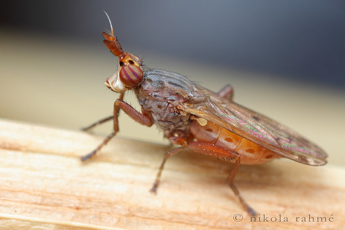 macro nature flies handheld diptera dolichopodidae canonef20mmf28usm canonef24105mmf4lisusm sciomyzidae heleomyzidae canonspeedlite580exii canoneos5dmarkii canonmpe65mmf28 fieldshot