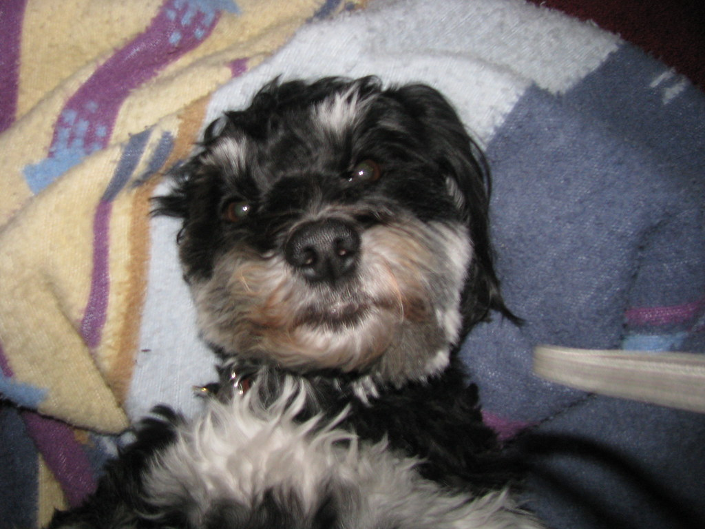 Havanese Puppies For Sale In Texas Havanese Puppies For Havanese