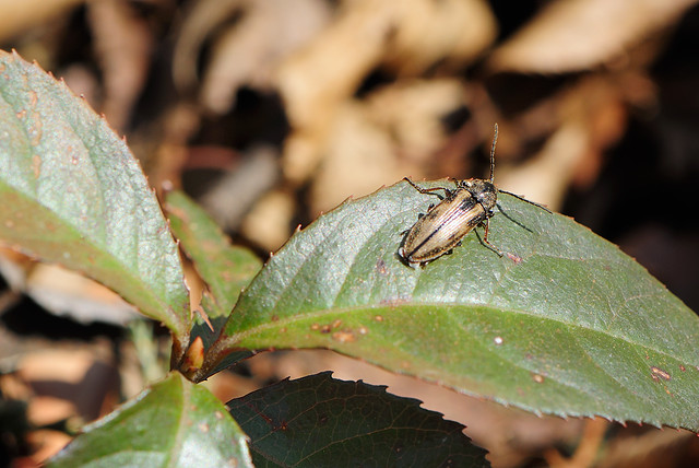 Pristilophus onerosus