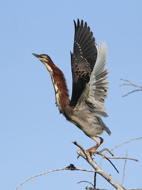 Green Heron taking flight (view large) 20120410
