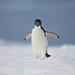 <p>This is an Adele penguin walking across a bergy-bit in Antarctica.</p>