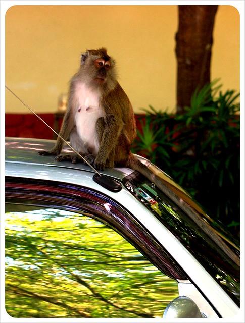 monkey on our car langkawi