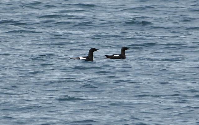 27084 - Black Guillemots, Isle of Mull