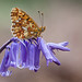 PEARL BORDERED FRITILLARY 2012  #4 by GOLDENORFE