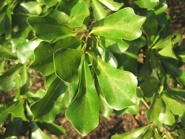 Water oak leaf flickr photo sharing