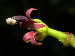 Campanulaceae of Ecuador