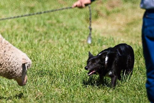 collie colorado sheepdogtrials meekersheepdogtrials