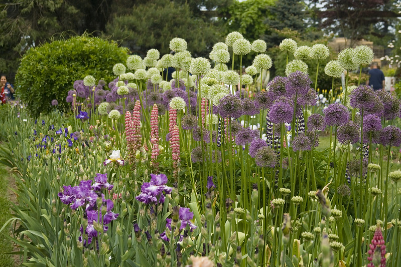 Wide Allium and Iris Bed