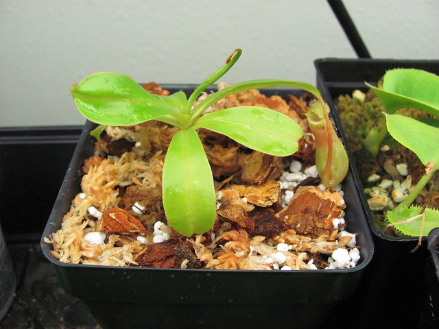 Unknown Nepenthes hybrid