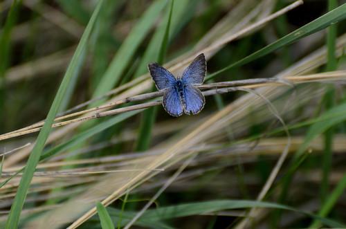 Blue Butterfly_3307.jpg