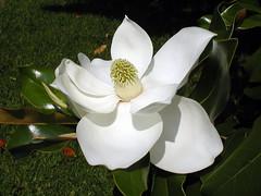 shrub, flower, magnolia, white, plant, flora, petal,