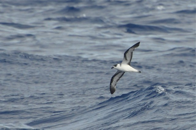 Black-capped Petrel