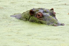 Chilling Hippo