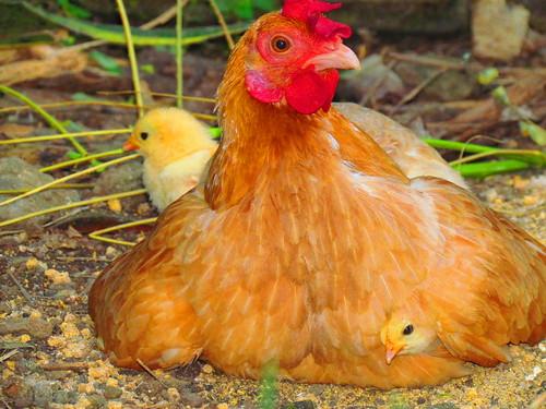 Hen and Chicken