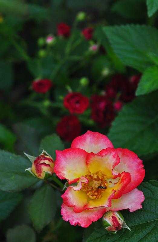 Rosa 'Betty Boop'