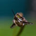 Bee Fly by Arian Noveir